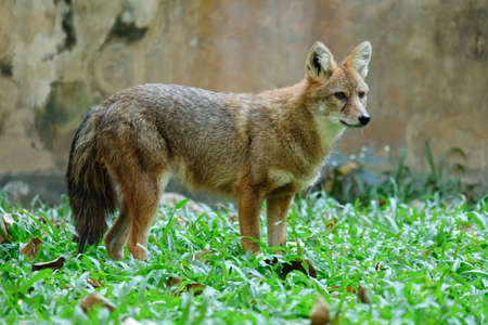 Different actions of the golden jackal during the day. Golden jackal standing on lawn 免版税图像