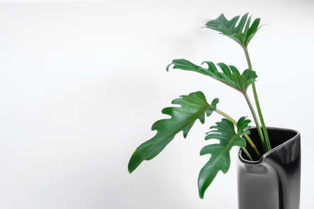 Green Philodendron Xanadu popular foliage adorned and decorated on white background.