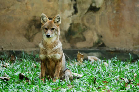 Different actions of the golden jackal during the day. Golden jackal siting on lawn