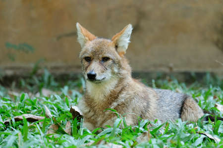 Different actions of the golden jackal during the day. Golden jackal resting on lawn 免版税图像