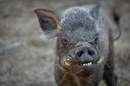 ugly wild boar because it was disabled.