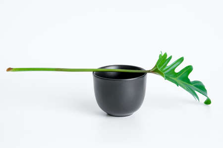 Green Philodendron Xanadu is placed on a black cup, popular leaves adorned on a white background. 免版税图像