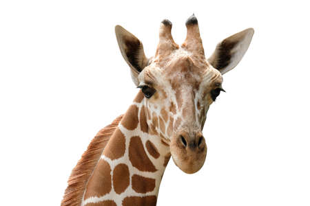 Close-up photo of giraffe face isolated on white background
