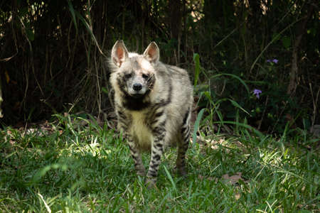 Striped hyenas have a broad head with dark eyes, a thick muzzle, and large, pointed ears.