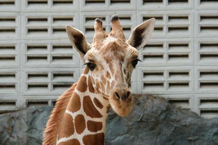 Close-up photo of giraffe face 免版税图像