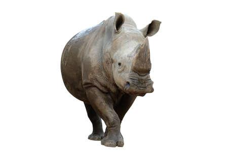 action of white rhinoceros isolated on whited background 免版税图像