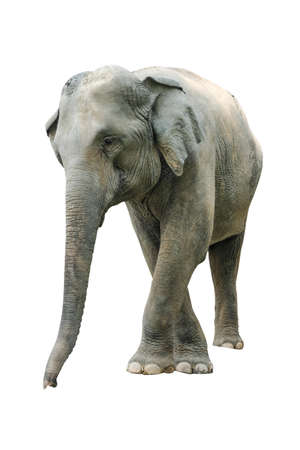 Elephant isolated on white background. Elephants are the largest land mammals on earth and have distinctly massive bodies, large ears, and long trunks. Standard-Bild