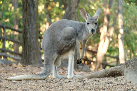 A female kangaroo has joey growing up in the pouch.