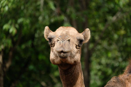 Close-up photo of camel face