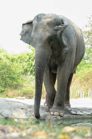 Elephants are the largest land mammals on earth and have distinctly massive bodies, large ears, and long trunks. 免版税图像