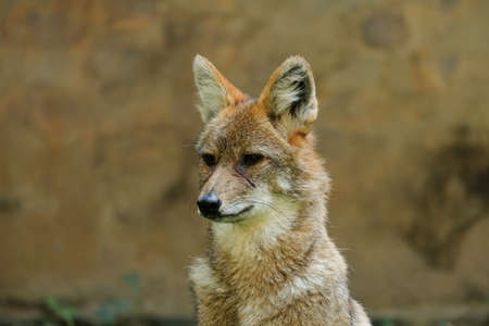 Different actions of the golden jackal during the day. Close up of golden jackal face