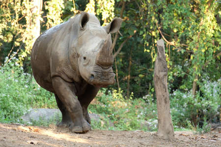 The white rhinoceros lives in Africa, in long and short-grass savannahs. 免版税图像