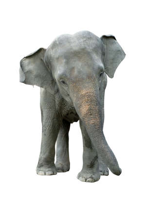 Elephant isolated on white background. Elephants are the largest land mammals on earth and have distinctly massive bodies, large ears, and long trunks.
