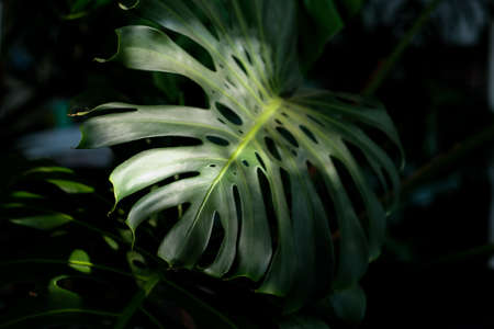Monstera leaves as the sunlight shines from the roof.