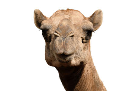 Close-up photo of camel face isolated on white background