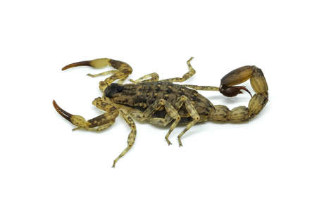 Chinese Swimming Scorpion is considered the most widespread and common scorpion species across Southeast Asia 免版税图像