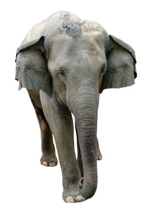 Elephant isolated on white background.Elephants are the largest land mammals on earth and have distinctly massive bodies, large ears, and long trunks.