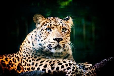 nose close up: Beautiful portrait of leopard Panthera Pardus big cat amongst foliage in captivity  Stock Photo