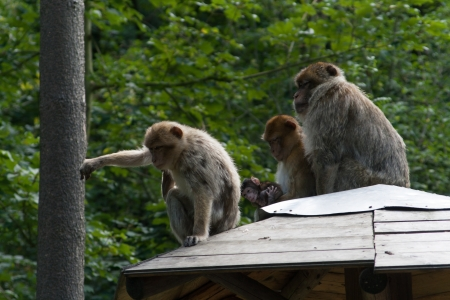 Family of monkeys sitting on a roof photo