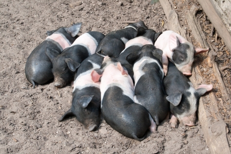 Piglets curled up against each other sleeping photo