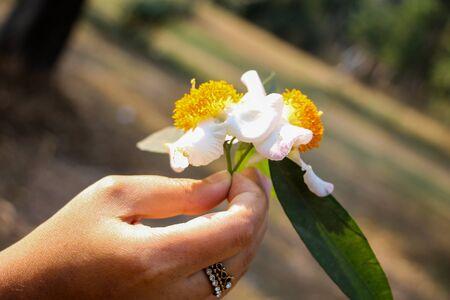 Mesua ferrea, Ceylon ironwood, Indian rose chestnut, cobra saffron, Calophyllaceae