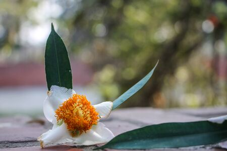 Mesua ferrea, Ceylon ironwood, Indian rose chestnut, cobra saffron, Calophyllaceae Banco de Imagens