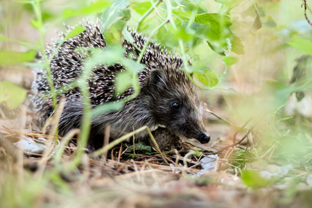 fulvous: Woodsman hedgehog in the forest