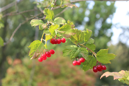 throughout: Red Cranberry - Ukrainian characters