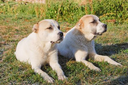 doppelganger: Two Central Asian shepherd