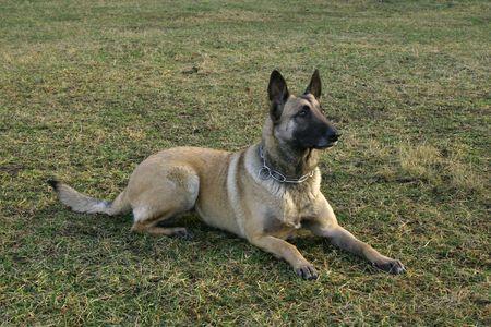 A belgium shepherd is sitting on grass.
