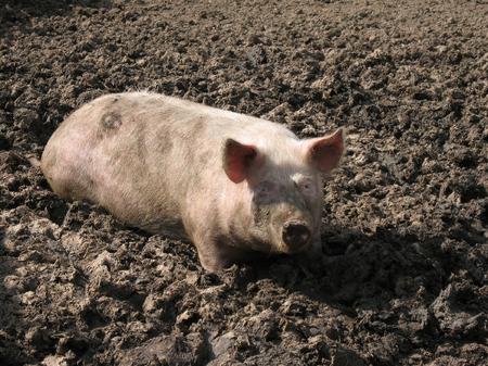 Pig in a mud.