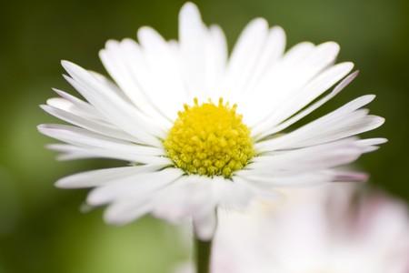 Macro shot of daisy flower. Green meadow in a background.