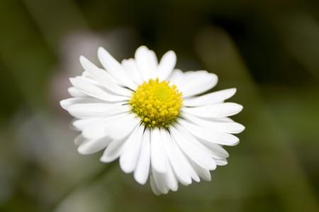 Daisy flower. Close-up. Stock Photo