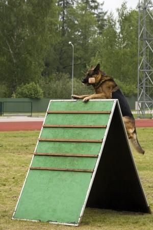 obediência: German shepherd jumping in a training. Imagens