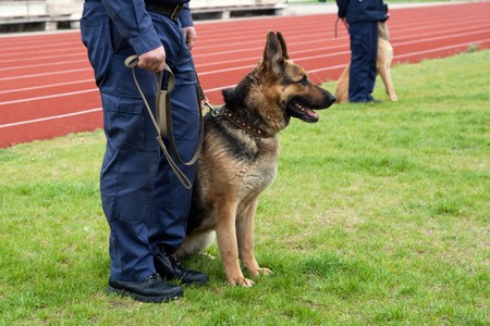 security laws: Policeman with a german shepherd on a training. Stock Photo