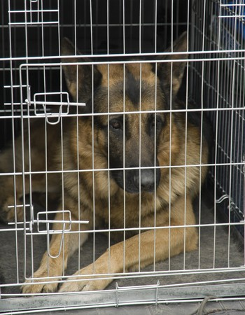 German shepherd sitting in a car cage.