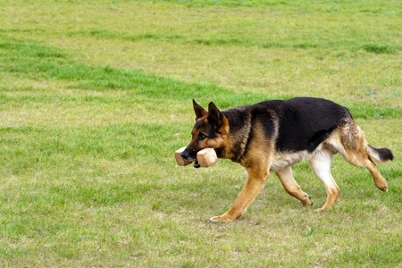 German shepherd running with wood toy. photo