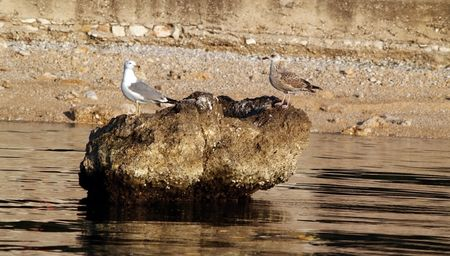 Picture presents a couple of seagulls on rock