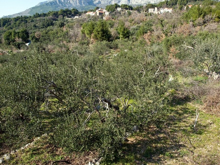 View at colorful olive trees in old village