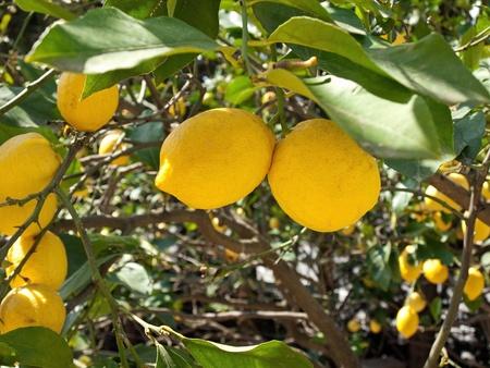 Yellow lemons on three close up