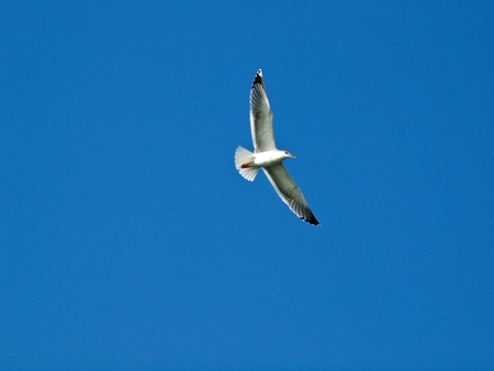 Seagull flying on the blue sky Stock Photo - 13397998