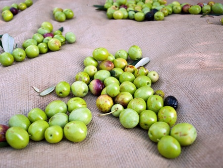 Picked green olives on the ground