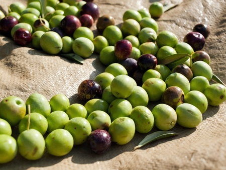 Picked olives on the ground