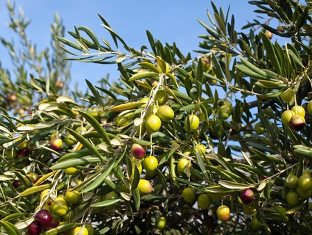 olive  tree: Olive tree with many colorful fruits Stock Photo