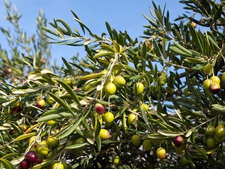 olivo arbol: Olivo con muchas frutas coloridas Foto de archivo