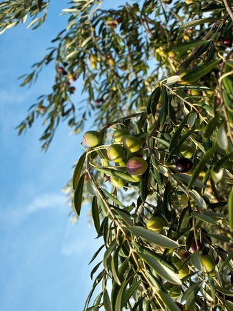 View at olive tree vertical Stock Photo - 13484061