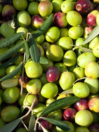 Just picked collection of fresh olives Stock Photo