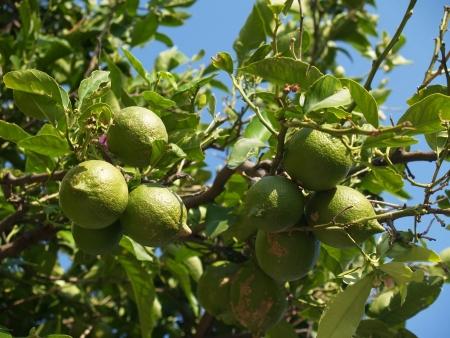 lemon tree: Imagen limonero presente