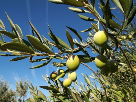 Green olives on olive tree with blue sky background close up