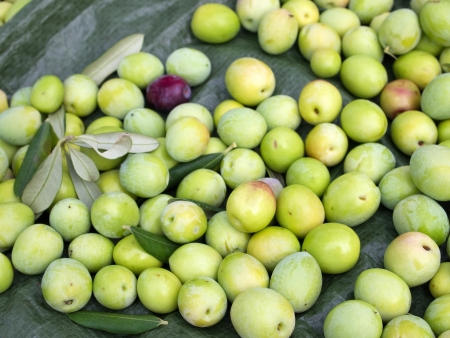 Just picked green olives
